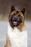 American akita dog outdoors Royalty Free Stock Photo