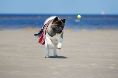 American akita dog playing on a beach Royalty Free Stock Image