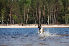 American akita dog playing on a beach Stock Photos