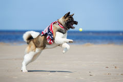 American akita dog playing with a tennis ball Stock Photo
