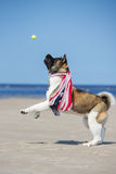 American akita dog playing with a tennis ball Stock Photography