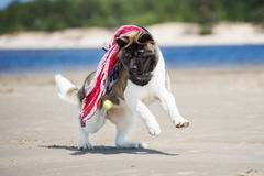 American akita dog playing with a tennis ball Royalty Free Stock Images