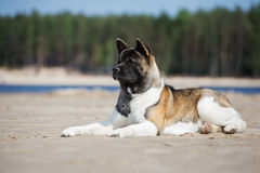 American akita dog posing on a beach Stock Images