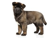 American Akita dog puppy in stand on white background stock photo