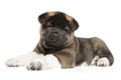 American Akita dog puppy on a white background. American Akita dog puppy lying down on a white background. Baby animal theme Royalty Free Stock Photography