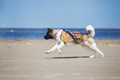 American akita dog running on a beach Stock Images