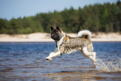 American akita dog running on a beach Royalty Free Stock Photos