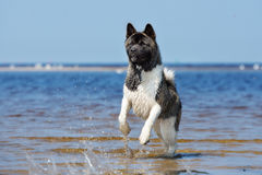 American akita dog running on a beach Stock Photography