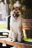 American akita dog standing outdoors Royalty Free Stock Photos
