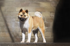 American akita dog standing outdoors Royalty Free Stock Photography