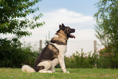 American Akita Guard Dog Stock Image