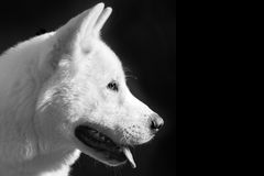 American akita head royalty free stock image