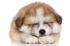 American Akita inu Puppy Sleep. Over white background Royalty Free Stock Image