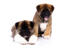 American Akita puppies. On a white background Royalty Free Stock Photography