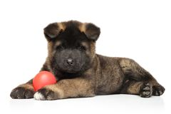 American Akita puppy with ball lying on white background. royalty free stock image