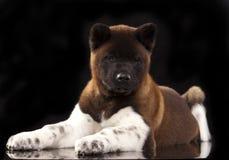 American Akita puppy Stock Image