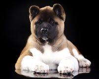American Akita puppy Stock Photography
