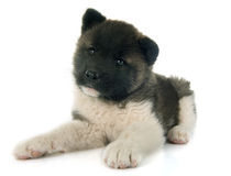 American akita puppy Stock Images