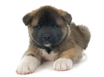 American akita puppy Royalty Free Stock Images