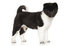 American Akita puppy in front of white background Stock Photos