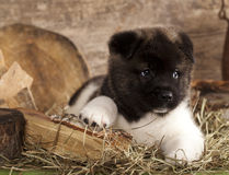 American Akita puppy Royalty Free Stock Image
