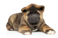American Akita puppy lying on white background royalty free stock image