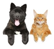American Akita puppy and Maine Coon cat together. Cat and dog together above banner, isolated on white background. American Akita puppy and Maine Coon cat royalty free stock photo