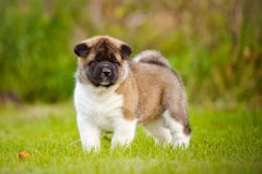 American akita puppy Royalty Free Stock Photography