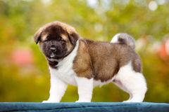 American akita puppy Stock Image