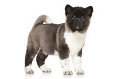 American Akita puppy portrait. American Akita puppy. Portrait in front of white background Royalty Free Stock Photography
