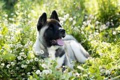 American akita puppy portrait Royalty Free Stock Photography