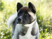 American akita puppy portrait Stock Photos