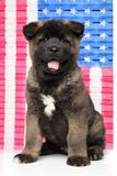 American Akita puppy posing on United States flag background. stock photos