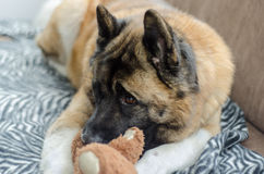 American Akita and Teddy royalty free stock image