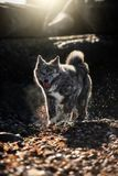 American Akita walking on leaves and stones stock photography