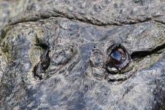 American aligator Royalty Free Stock Photos