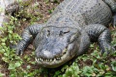 American aligator Royalty Free Stock Photography