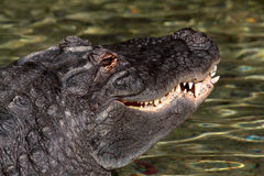 American Aligator Stock Photography