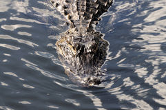 American Alligator Royalty Free Stock Image