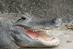 American Alligator. Close Up View of an American Alligators mouth Royalty Free Stock Image