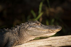 American Alligator. Sunning on a Log royalty free stock photos