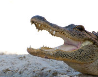 Free American Alligator Royalty Free Stock Photo - 13581145