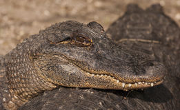 American Alligator. Portrait with head on another alligator Stock Photos