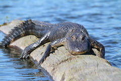Free American Alligator Stock Photo - 15332860
