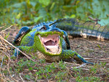 American alligator. Adult American alligator with open mouth Royalty Free Stock Photo