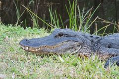American Alligator royalty free stock images