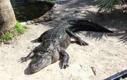 American Alligator Stock Images