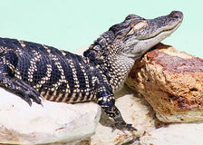 American alligator. Sleeping and dreaming of royalty free stock photo