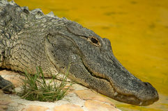 American Alligator. In the Florida Everglades National Park at Everglades Holiday Park Royalty Free Stock Photography