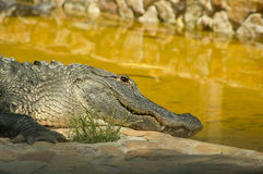 American Alligator. In the Florida Everglades National Park at Everglades Holiday Park Stock Images
